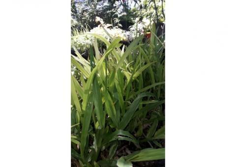 Plantines de cesped. Grama bahiana