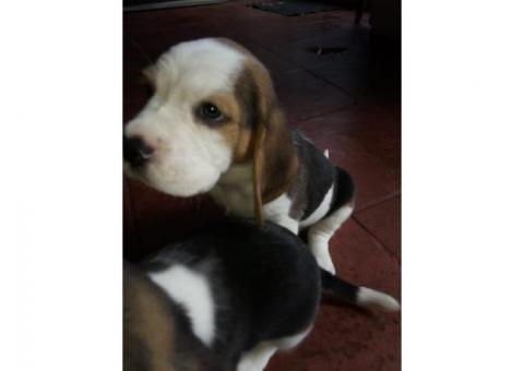 VENDO ULTIMA CACHORRA BEAGLE TRICOLOR